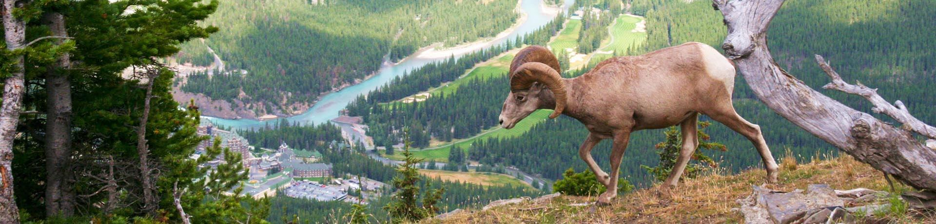 Big horned sheep in the Rocky Mountains