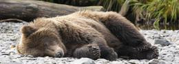 Avistaje de osos pardos en Alaska